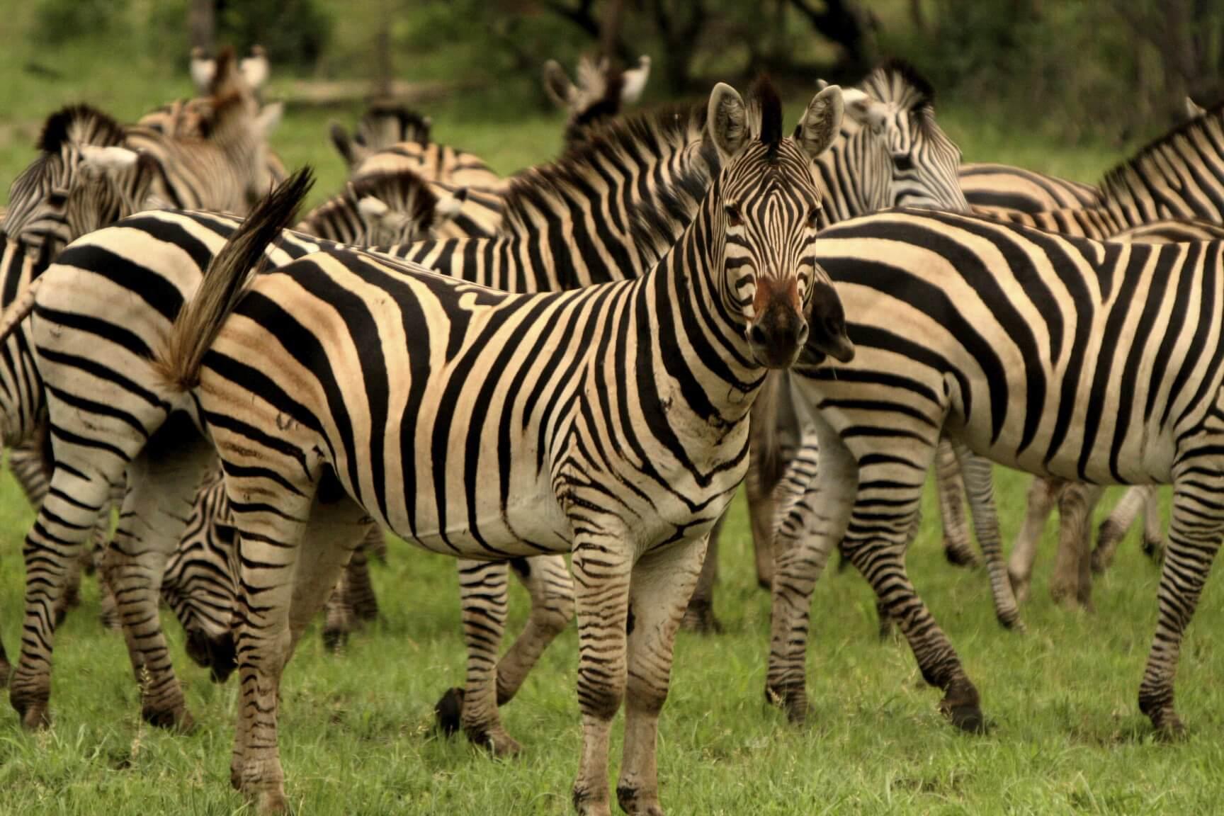 Schalk Pienaar Safaris Nambia ~ Burchell's Zebra Hunt