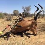 Schalk Pienaar Safaris Namibia ~ Bow hunting Red Hartebeest