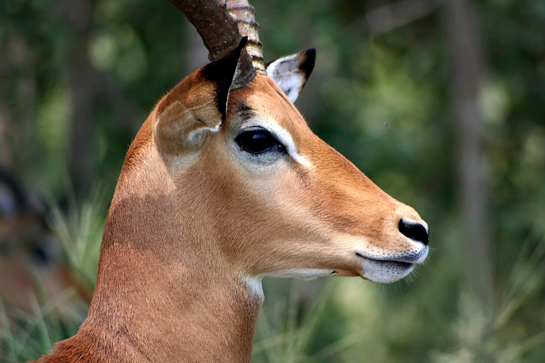Schalk Pienaar Safaris Namibia ~ Impala Hunting