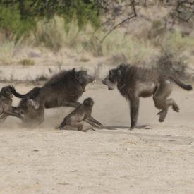 Schalk Pienaar Safaris Namibia ~ Baboon Hunting