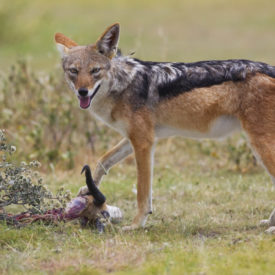 Schalk Pienaar Safaris Namibia ~ Jackal Hunting