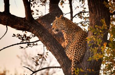 Schalk Pienaar Safaris Namibia - Leopard Hunting